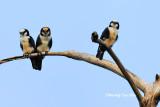 (Microhierax latifrons)*Bornean Falconet [White-fronted Falconet]