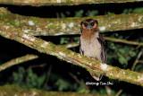 (Strix leptogrammica) Brown Wood Owl