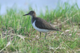 (Actitis hypoleucos) Common Sandpiper