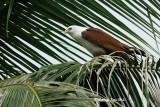 (Haliastur indus)Brahminy Kite