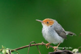 (Orthotomus ruficeps borneoensis) Red-headed Tailorbird ♀