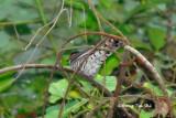 (Chrysococcyx minutillus) Little Bronze Cuckoo ♂