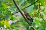 (Meiglyptes tristis)Buff-rumped Woodpecker ♀