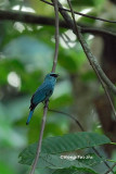 (Eumyias thalassina) Verditer Flycatcher ♂