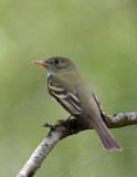 Eastern Wood-Pewee-3.jpg
