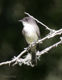 Eastern Wood Pewee.jpg