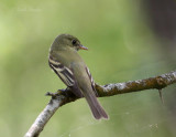 Eastern Wood-Pewee-5.jpg