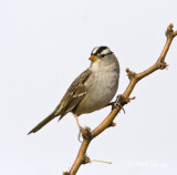 White-crowned Sparrow_1.jpg