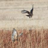Harriers harrassing.jpg