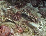 Crab Standoff