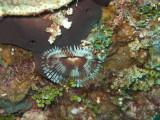 Split Crown Featherduster