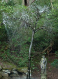 Chatsworth - bronze rain tree