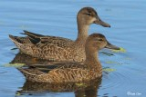 Blue- Winged Teal