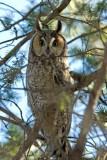 Long- eared Owl
