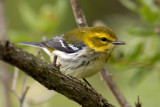 Black throated-Green Warbler