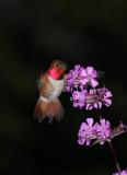 Hummingbirds dancing on spring flowers