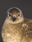 Fjällabb - Long-tailed skua (Stercorarius longicaudus)