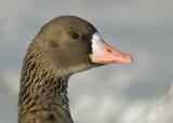 Bläsgås - Greater whitefronted goose (Anser albifrons)