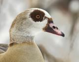 Nilgås - Egyptian Goose (Alopochen aegyptiaca)