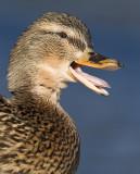 Gräsand - Mallard (Anas platyrhynchos)
