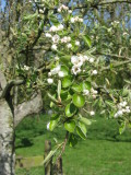 Perry Pear in blossom