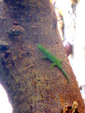Bright green lizard (again, probably not the real name)