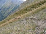 schapen richting col de la Muzelle