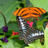 Banded Orange & Sylvia Clipper.jpg