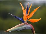 Flor d'Au del Paradís - Strelitzia reginae