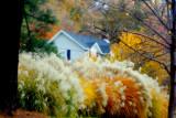 Turkey Grass