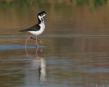 Black necked stilts, post breeding strut
