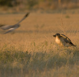 Red-Tailed hawk being strafed by Northern Harrier