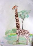 giraffe, Callum, age:8.5