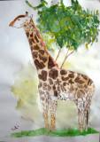 giraffe, Yuki, age:10