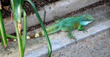 Gecko on the loose!