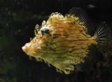 Hairy File fish