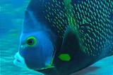 H53--Underwater St Maarten, Gregory site, French angel