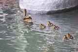 duckbabies.jpg