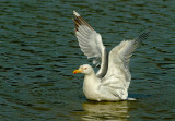 Yellow-legged Gull.