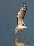 Black-Heded Gull.