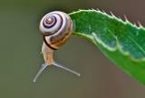 White Italian Snail.