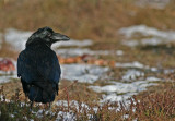 Korp/Raven