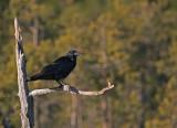 Vaksam/Raven