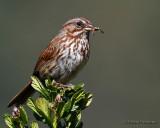 Song Sparrow's Dinner