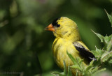 Portrait of a Goldfinch