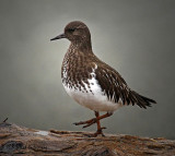 Least Sandpiper...opps! Black Turnstone