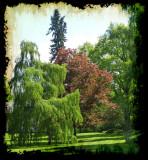 weeping birch,  norway maple