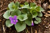 Purple Violet 1