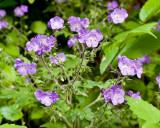 Purple Phacelia 2