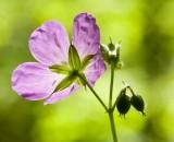 Wild Geranium 4